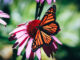 Monarch butterfly pollenating a coneflower